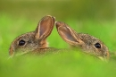 juvenile-rabbits-emerging-from-burrow