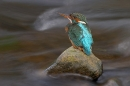 kingfisher-resting-in-stream