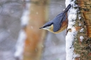 nuthatch-in-snowfall