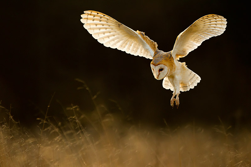 Great Grey Owl Flying Index of /wp-content/g...