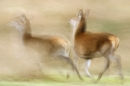 red-deer-hinds-running