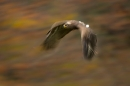 steppe-eagle-in-flight