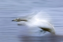 whooper-swan-coming-in-to-land