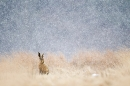 brown-hare-in-blizzard