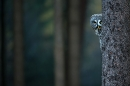 great-grey-owl-peering-around-tree