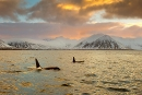 orcas-at-last-light