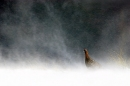 Red grouse, lagopus lagopus scoticus, in blizzard during winter, peak District, UK