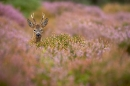 roe deer peering over heather