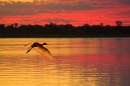 spoonbill in flight at dusk