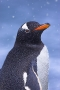 gentoo-penguin-in-snowfall