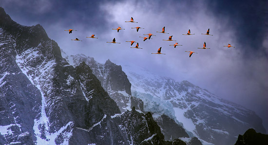 chilean flamingos in flight over andes mountains