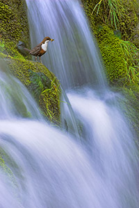 dipper perched on moss covered waterfall - a