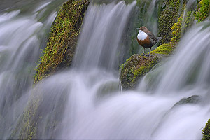 dipper perched on waterfall