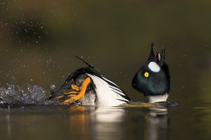 Goldeneye displaying - Animal antics category - Highly honoured winner