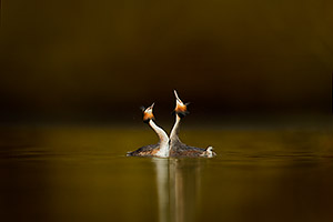 great crested grebes courting - a