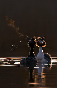 grebes courting at dawn