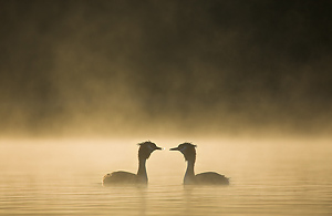 grebes courting in dawn mist