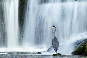 heron perched under waterfall