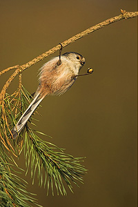 long-tailed tit hanging from branch