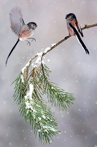 long-tailed tits in snowfall