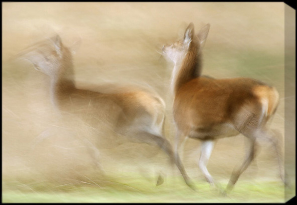 red deer hinds running - canvas wrap around