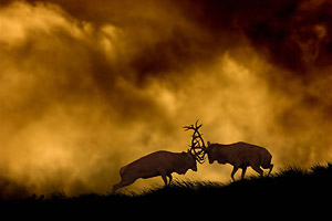 red deer stags fighting at dusk