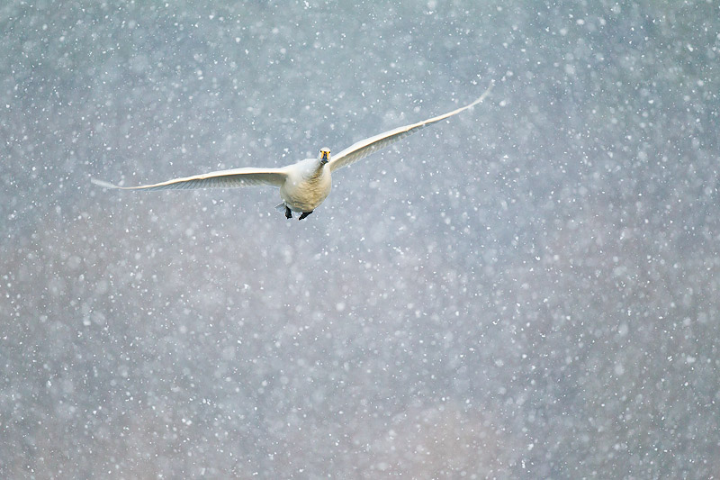 whooper swan in blizzard