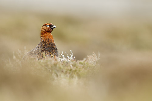 red grouse mk4