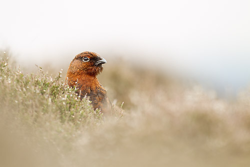 red grouse2 mk4