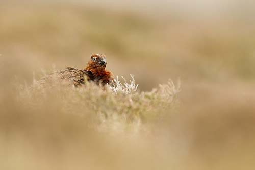 red grouse3 mk4