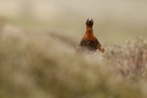 red grouse4 mk4