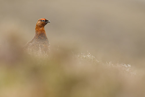 red grouse5 mk4