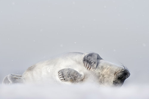 grey seal in snowfall