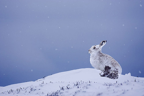 mountain hare in snowfall 2