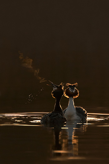 great crested grebes courting at dawn - news