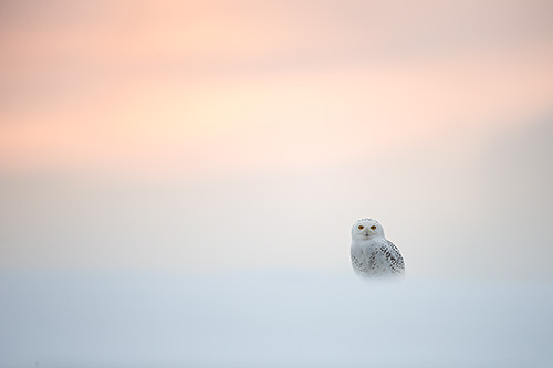 snowy owl at dusk - web